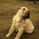 Care Requirements for a Shar Pei