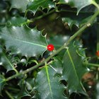 How to Identify Types of Holly Bushes