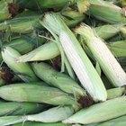 Como guardar espigas de milho com casca
