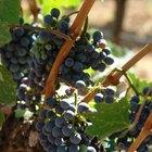 Plagas y enfermedades de las plantas de uva