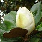 Fast-Growing Magnolia Trees