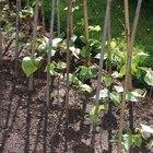 Cómo identificar las etapas de la germinación de las semillas de haba