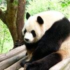 Información general sobre el panda gigante