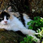 Calico Cat Information