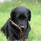 ¿Cómo puedo saber la edad de un cachorro labrador color negro?