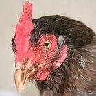 Información acerca de las gallinas ponedoras