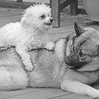 ¿Hay alguna manera de encubrir el olor de una perra en celo para otro perro?