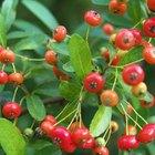 Tipos de árboles de bayas rojas