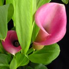 What Flower Goes Best With Calla Lilies?
