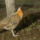 Pollo orgánico versus no orgánico