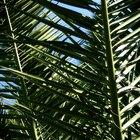 Enfermedades de la palmera pindó