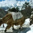 Difference Between Highland Cattle & Yak