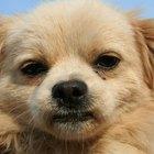 Cómo tratar una erupción alrededor del ojo de un perro