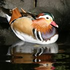 How to Incubate Mandarin Duck Eggs