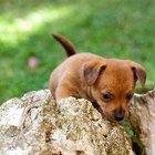 Why Do Puppies Eat Their Poop?