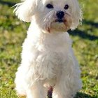 Can You Teach Tricks to Dandie Dinmont Terriers?