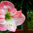 What to Do After Amaryllis Plants Bloom