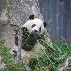 Ciclo de vida de los osos Panda gigantes