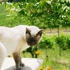 Problemas oculares del gato siamés
