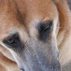 Síntomas de los ojos llorosos en un perro