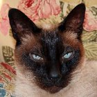 Siamese Cat Behavior