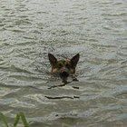 How to Get a Dog to Swim