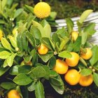 Qué hacer con los árboles cítricos con hojas amarillas