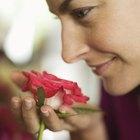 ¿Por qué las rosas desprenden olor?
