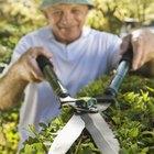 Cómo plantar un seto de laurel