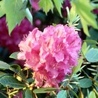 Colors of Rhododendron