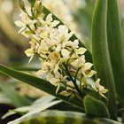 Como identificar a espécie de uma orquídea pelas folhas