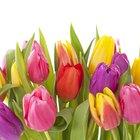 Cómo cuidar los tulipanes después del florecimiento