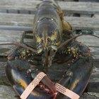 Como dizer se um lagostim é macho ou fêmea