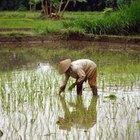 Cómo cultivar arroz en una maceta