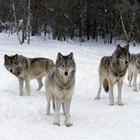 El lobo en las historias de los nativos americanos