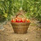 Por que alguns tomates florescem mas não produzem frutos?