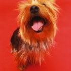 Can Yorkshire Terriers Eat Raw Green Beans?