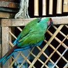 Como fazer um papagaio Eclectus parar de regurgitar