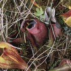 Pitcher plant leaves form a funnel that ends in a pool of digestive juices.