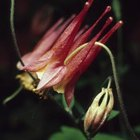 Columbines come in many colors and are vigorous self-seeders.