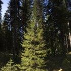 Diferencias entre los bosques de hoja perenne y de hoja caduca
