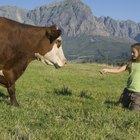 Cómo saber cuando una vaca va a tener un becerro