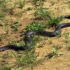 Diferencias entre una serpiente negra y una corredora