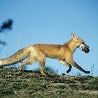 Como fazer uma fantasia de raposa