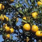 ¿Por qué mi árbol de naranja tiene espinas?