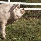 Cómo matar, limpiar y cocinar un cerdo