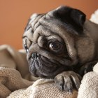 Low Blood Sugar in Pugs