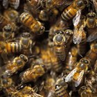 How to Get Rid of a Bees' Nest in the House