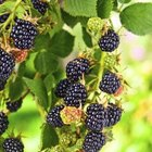 Humans and many animal species feed on blackberries.