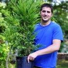 Cómo plantar un ciprés de Leyland
